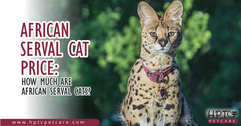 Africa Serval Cat Price: How Much Are African Serval Cats?