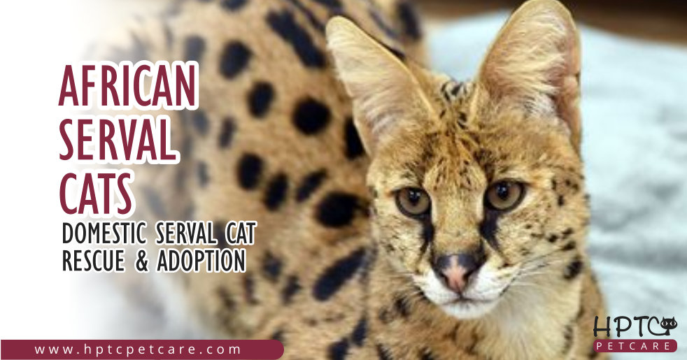 African Serval Cats – Domestic Serval Cat Rescue & Adoption