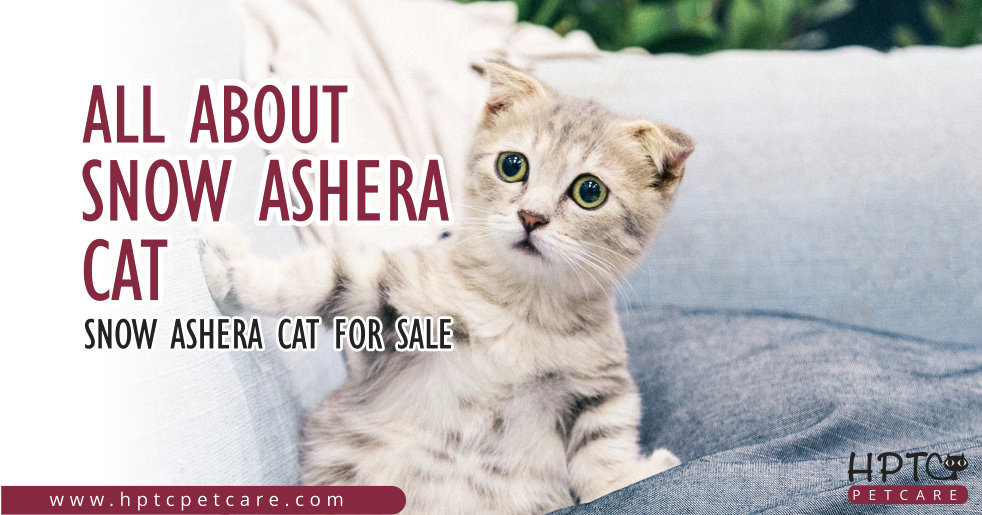All About Snow Ashera Cat - Snow Ashera Cat For Sale