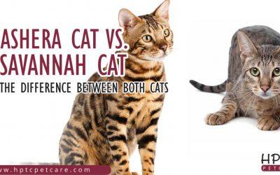 Ashera Cat Vs Savannah Cat – The Difference Between Both Cats