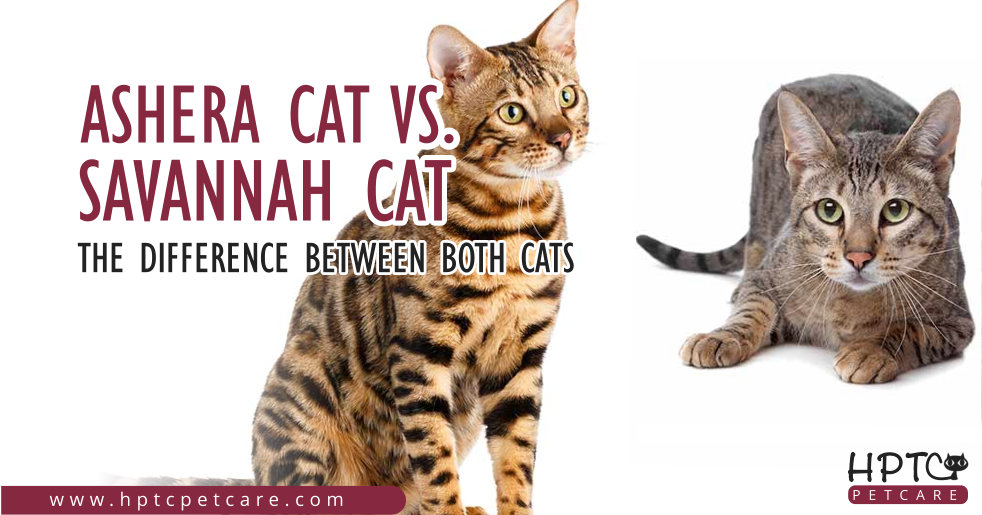 Ashera Cat Vs Savannah Cat - The Difference Between Both Cats