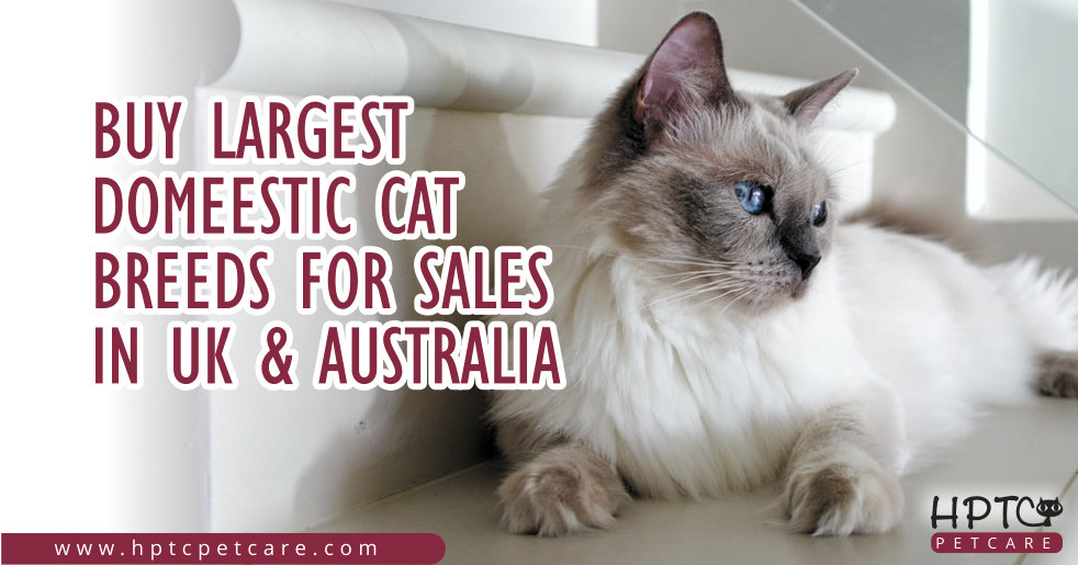 Buy Largest Domeestic Cat Breeds For Sales In Uk & Australia