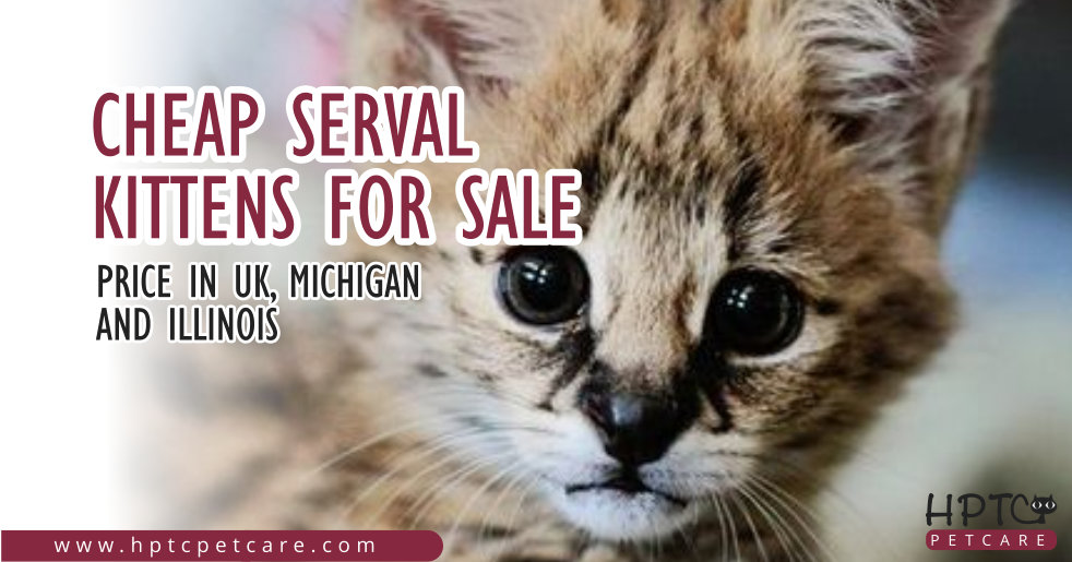 Cheap Serval Kittens For Sale – Price in UK, Michigan & Illinois