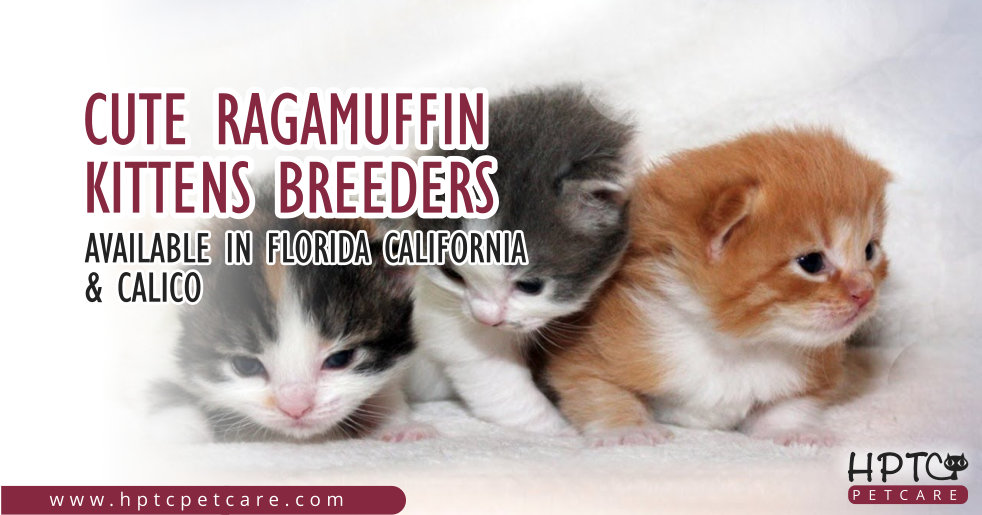 Cute Ragamuffin Kittens Breeders Available in Florida California & Calico