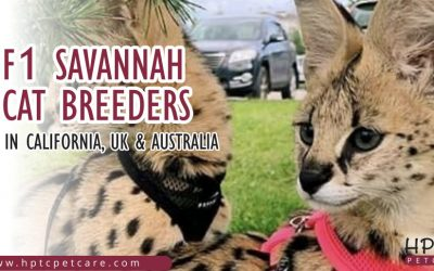 F1 Savannah Cat Breeders In California, Uk & Australia