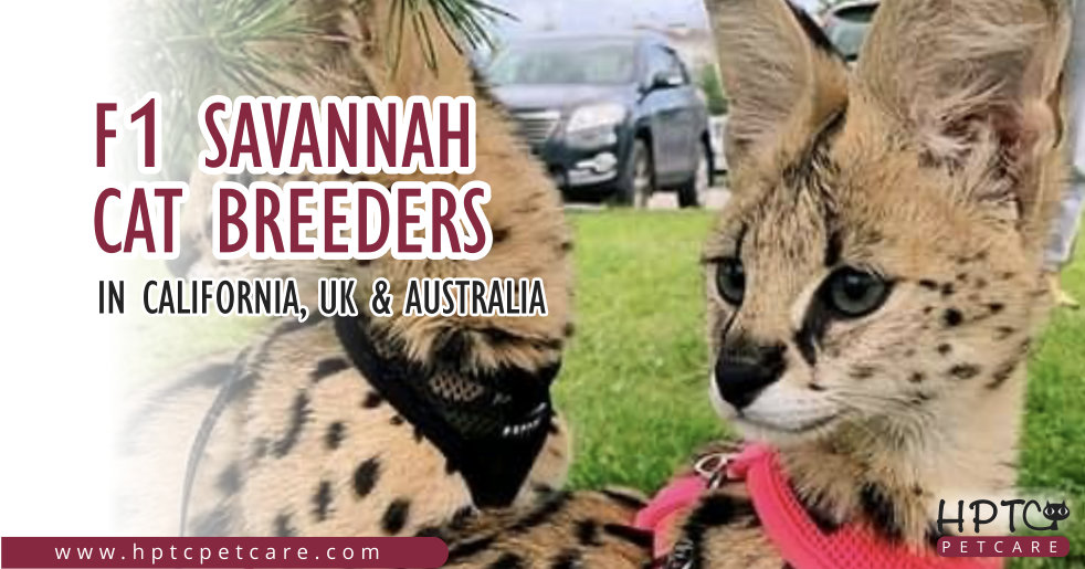F1 Savannah Cat Breeders In California, Uk & Australia