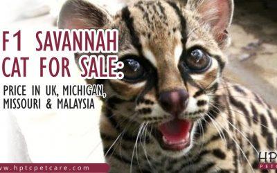 F1 Savannah Cat For Sale: Price in UK, Michigan, Missouri & Malaysia