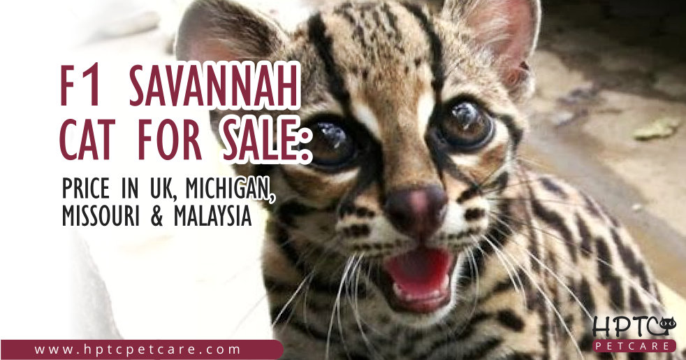 F1 Savannah Cat For Sale Price In Uk Michigan Missouri Malaysia