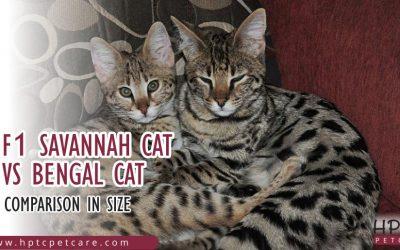 F1 Savannah Cat Vs Bengal Cat Comparison in Size