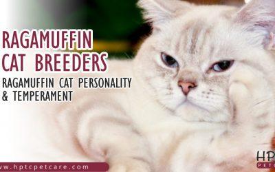 Ragamuffin Cat Breeders – Ragamuffin Cat Personality & Temperament