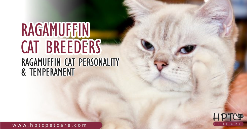 Ragamuffin Cat Breeders – Ragamuffin Cat Personality & Temperament