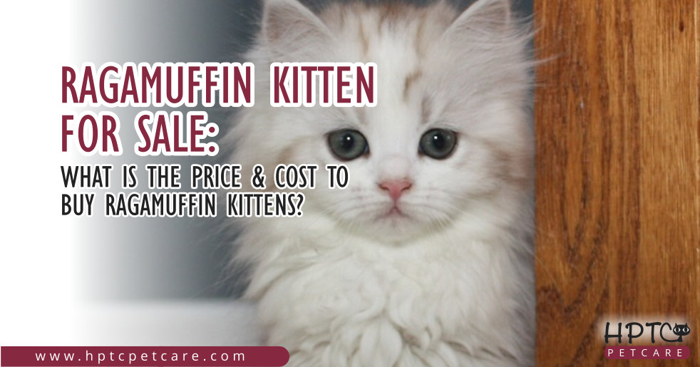 Ragamuffin Kitten For Sale: What is the Price & Cost to Buy Ragamuffin Kittens?
