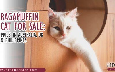 Ragamuffin Cat For Sale: Price in Australia, UK & Phillippines