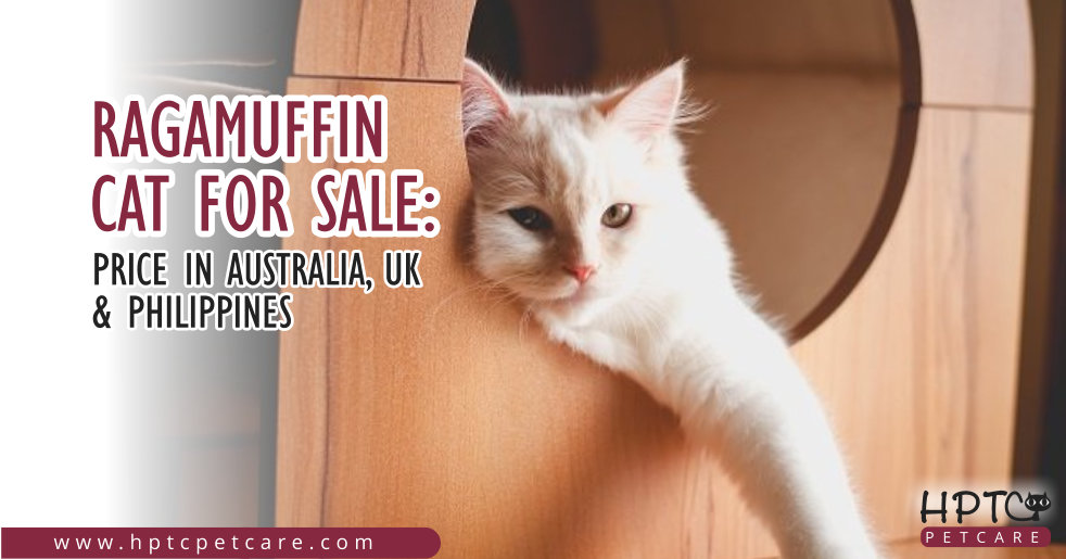 Ragamuffin Cat For Sale: Price in Australia, UK & Phillippines