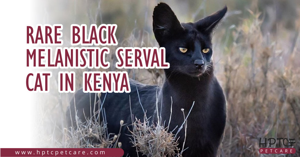 Rare Black Melanistic Serval Cat in Kenya