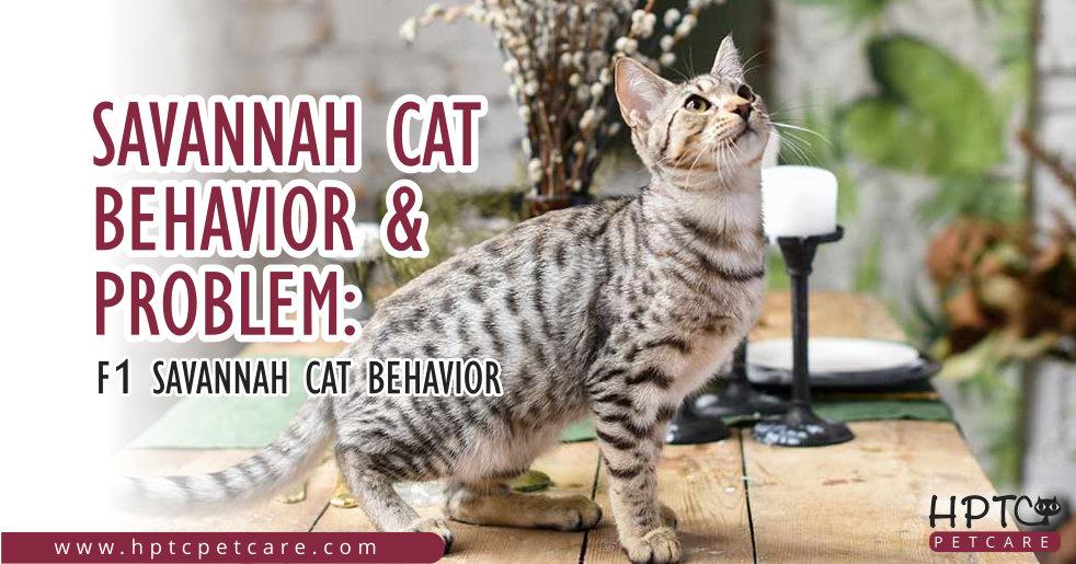 Savannah Cat Behavior & Problem F1 Savannah Cat Behavior