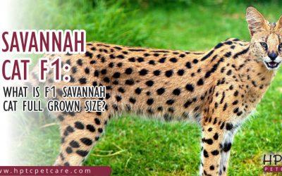 Savannah Cat F1 : What is F1 Savannah Cat Full Grown Size?