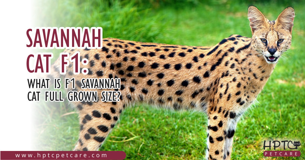 Savannah cat F1 What is F1 Savannah Cat Full Grown Size