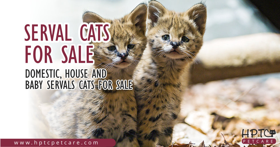 Serval Cats For Sale - Domestic, House & Baby Servals Cats For Sale
