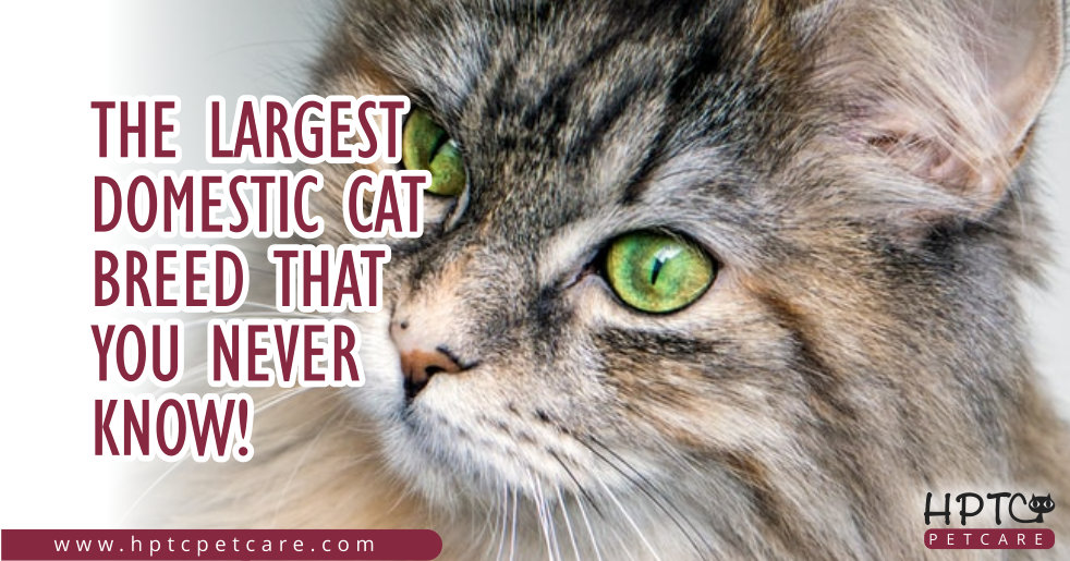 The Largest Domestic Cat Breed That You Never Know!