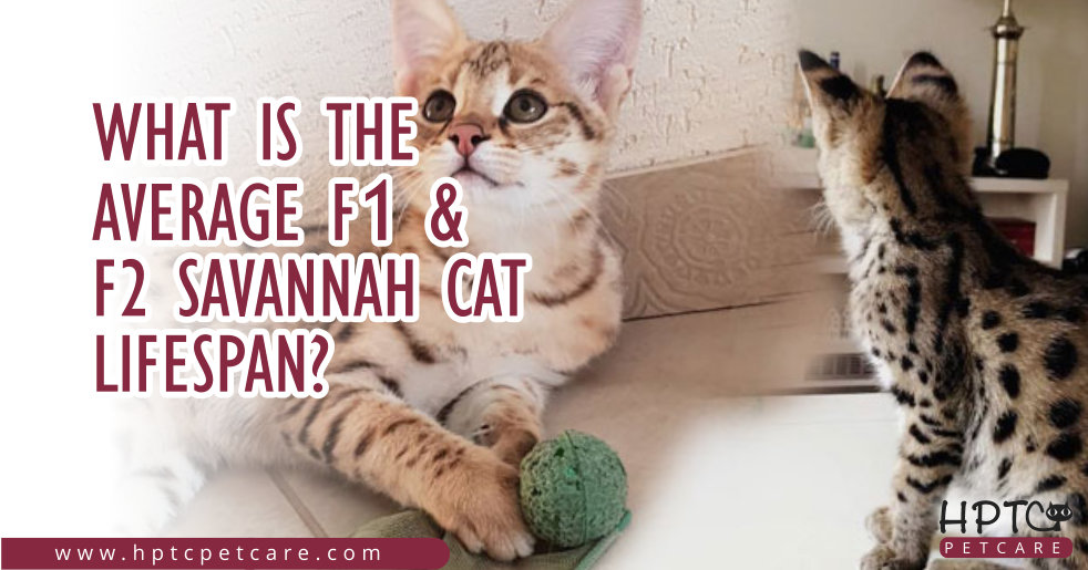 What is the Average F1 & F2 Savannah Cat Lifespan?