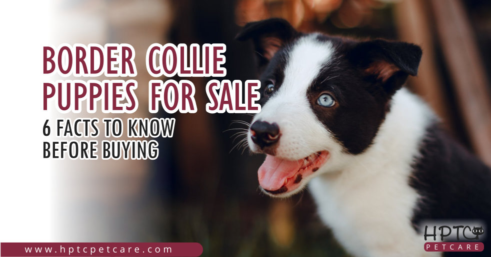 Border Collie Puppies for Sale - 6 Facts to Know Before Buying