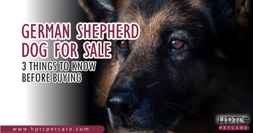 German Shepherd Dog For Sale – 3 Things To Know Before Buying