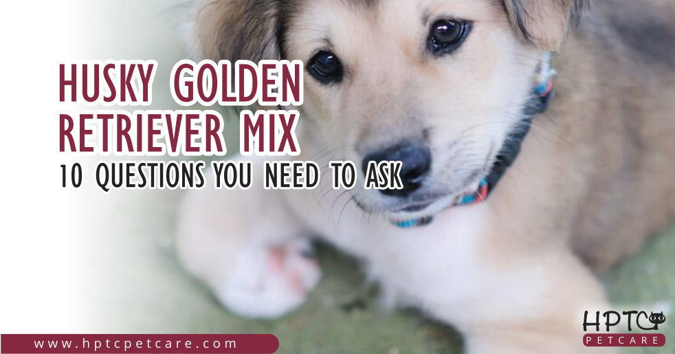 Husky Golden Retriever Mix – 10 Questions You Need To Ask