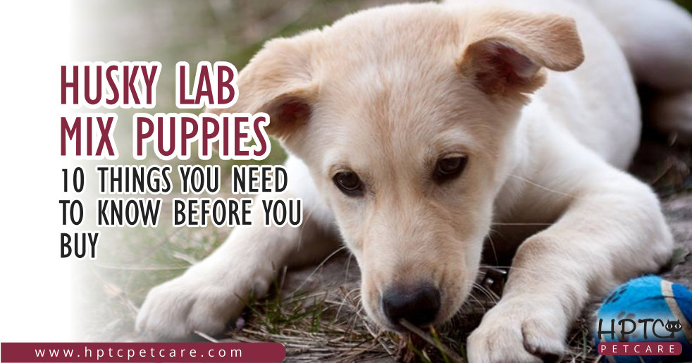 Husky Lab Mix Puppies – 10 Things You Need To Know Before You Buy